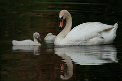 Mute Swan and Cygnets (NicoleW0000) Tags: mute swan cygnet cygnets tranquil reflection nature bird waterfowl wildlife photography canon ontario
