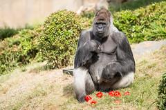 2017-06-05-10h39m26.BL7R6945 (A.J. Haverkamp) Tags: bokito canonef100400mmf4556lisiiusmlens rotterdam zuidholland netherlands zoo dierentuin blijdorp diergaardeblijdorp httpwwwdiergaardeblijdorpnl gorilla westelijkelaaglandgorilla dob14031996 pobberlingermany nl