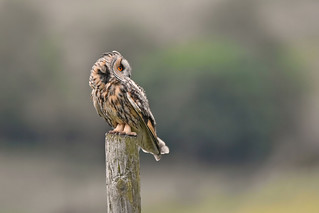 Long-eared Owl, The Proud Mother