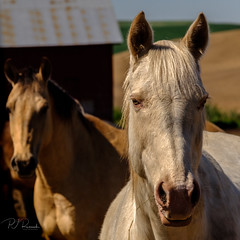 White Horse (PJ Resnick) Tags: 2017 pjresnick palousewa perryjresnick pjresnickgmailcom pjresnickphotographygmailcom ©2017pjresnick ©pjresnick light fuji fujifilm digital shadow texture shadows yellow angle perspective naturallight xf fujinon resnick outdoor green brown orange color colour xpro2 fujifilmxpro2 washington filmsimulation fujinon55200mm 55200mm sunset evening sundown horse horses barn velvia square squareformat