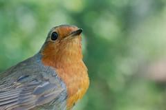 rouge gorge (philph0t0) Tags: rougegorgefamilier erithacusrubecula europeanrobin rougegorge familier erithacus rubecula european robin bird oiseau