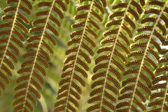 the underside of a fern (remiklitsch) Tags: sporangia spores fern plantnature green pattern brown germination mitosis nikon remiklitsch