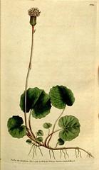 Anglų lietuvių žodynas. Žodis alpine coltsfoot reiškia alpių coltsfoot lietuviškai.