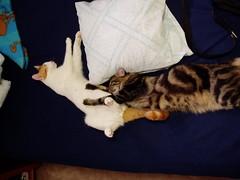 Mochi & Peppy: 10.2005 Nap Time (Tabo Kishimoto) Tags: kittens gato popoki chat brothers peppy mochi