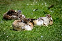 Nilgans - Jungtiere (G_Albrecht) Tags: alopochenaegytiaca anatidae tadorninae tadornini eigentlichehalbgänse entenvögel gaensevogel halbgänse nilgans tier umwelt vogel