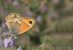 Coenonympha thyrsis (Cretan Small Heath) (Nikos Roditakis) Tags: coenonympha thyrsis cretan small heath nympalidae butterfies greek european nikos roditakis macro nikon d5200 tamron af sp 90mm f28 di vc usd galyfa pediados