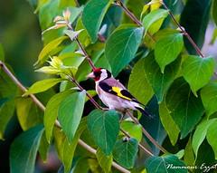Chardonneret élégant (1) (Ezzo33) Tags: france bordeaux nouvelleaquitaine oiseaux oiseau chardonneret élégant ezzo33 sony rx10 parc jardin vert