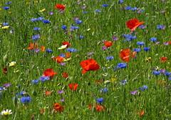 Cheerful (joeke pieters) Tags: 1340866 panasonicdmcfz150 bloemen flowers wildflower klaproos korenbloem poppy cornflower tuin garden