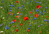 Cheerful (joeke pieters) Tags: 1340866 panasonicdmcfz150 bloemen flowers wildflower klaproos korenbloem poppy cornflower tuin garden platinumheartaward ngc npc