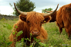 What's up dock(leaves)? (mootzie) Tags: fieldstonewall highland cows scottish aberdeenshire scotland hairy ginger horns fringe wildlife nature