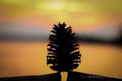 A Pine Cone Silhouette (K.Yemenjian Photography) Tags: silhouette silhouettephotography sunset endoftheday pine pinecone nature beautyofnature dark clearsky southeast southcarolina canont5i canon clarkshill clarkshilllake