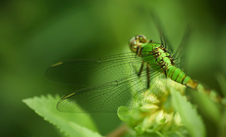 Why Pondhawks Are Green