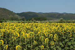 Shy sunflowers (Darea62) Tags: sunflowers hills flowers nature landscape panorama cultivation field agriculture tuscany trees vecchiano valley