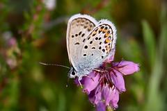 Silver-studded Blue (Plebejus argus) (Jud's Photography) Tags: silverstuddedblue plebejusargus silverstuddedbluebutterfly shropshire uk