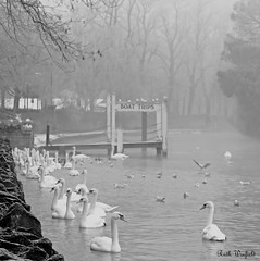 Winter swans at Windsor (WinRuWorld) Tags: windsor winter england uk greatbritain monochrome blackandwhite thames riverthames fog foggy cold freezing boattrips ruthwinfield canon canoneos60d efs1855mmf3556isii outdoors nature bird birds swan muteswan anatidae cygnusolor vertebrate animal creature fauna greyscale grayscale white grey gray berkshire royalboroughofwindsor scene
