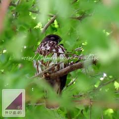 (finalistJPN) Tags: birder wildbird brownowl brownhalkowl owl totoro ghibli sleeping dreaming nap discoverychannel nationalgeographic tripadvisor travelguide japanguide japanphoto stockphoto lonelyplanet planetearth welovetheearth greatnature keepgreen