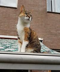 Abby: queen of the neighbourhood. (romydoesburg3) Tags: cat abby pet animal queen cute love kitten cats redcat