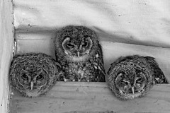 3 Wise Owls (Evoljo) Tags: internationalbirdsofpreycentre newent gloucestershire owls hoot feathers blackwhite eyes 3 nikon d500