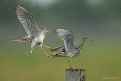 My perch dimwit... (Earl Reinink) Tags: bird animal meadowland sandpiper shorebird fight flight uplandsandpiper nature photography birdphotography nikon d810 300mm niagara ontario earl reinink earlreinink odadturdia