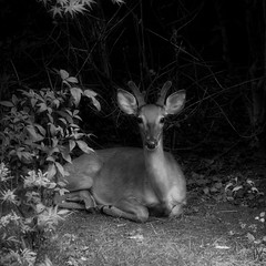 sweet boy (courtney065) Tags: nikond800 fauna nature deer buck animal wildlife mono monochrome blackandwhite bw sanctuary refuge safehaven squareformat highqualityanimals
