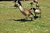 Catch!! (Cris JB Photography) Tags: ducks quarrel chase regent´spark