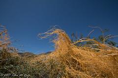 Donald Trump Hair Grass in the Desert (taharaja) Tags: cactus california deathvalley desert furnacecreek ghosttown jeeping lowestpoint nationalpark offroad oldtown racetrack sealevel zabriskiepoint lakebed movingstones slatflats