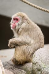 2017-06-25-15h35m04.BL7R1861 (A.J. Haverkamp) Tags: canonef100400mmf4556lisiiusmlens amsterdam noordholland netherlands zoo dierentuin httpwwwartisnl artis thenetherlands japansemakaak japanesemacaque nl