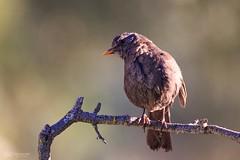 Mirlo (fran-asensio) Tags: mirlo turdusmerula avealamanecer primerasluces avenatural bocairent blackbird