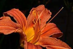 DSC_0516 (Me now0) Tags: nikond5300 micronikkor40mm europe никонд5300 софиябългарияевропа flower цвете оранжево orange hemerocallisfulva daylily дневналилия