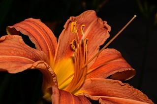 Hemerocallis fulva ( Daylily ) Дневна лилия DSC_0516