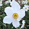 Lombard, IL, Lilacia Park, White Narcissus Flower, Macro (Mary Warren 9.6+ Million Views) Tags: lombardil lilaciapark spring blooms blossoms flowers nature flora macro white narcisus