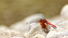 Red dragonfly. (ChusPS) Tags: dragonfly nature river creek color nikon tamron90mm summer insects