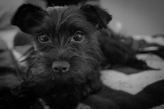 Proxy (JBirdPerched) Tags: dog black yorkie puppy yorkiepoo