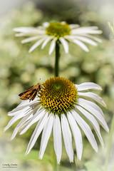 Cone Flower (Echinacea)_MC_1010-3 (matxutca (cindy)) Tags: butterfly coneflower echinacea feeding landed wings flower white