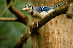 Sometimes You Feel Like A Nut (jwfuqua-photography) Tags: bluejay backyardbirds nature pennsylvania birds peacevalleynaturecenter jerrywfuqua buckscountyparks buckscounty jwfuquaphotography