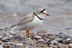 Piping Plover (Charadrius melodus) - Nationally and Provincially Endangered Species - Ontario, Canada (Kim Toews Photography) Tags: canada150 beach ontario canon400mmf56 endangeredspecies speciesofspecialconcern speciesatrisk sara outdoor nature animal wildlife shorebird bird pipingplover charadriusmelodus