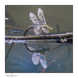 Female Emperor Dragonfly (Anax imperator) laying her eggs in the water