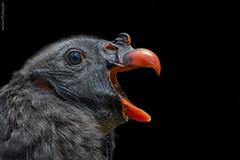 Junger Königsgeier (marionB-fotografie) Tags: tier tiere animal animals vögel vogel greifvogel geier poncho tierparkberlin