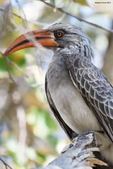 Red-Billed Hornbill (naturalturn) Tags: hornbill redbilledhornbill savanna tree savuti chobe chobenationalpark botswana image:rating=5 image:id=205064