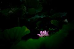 Lotus 荷花 (MelindaChan ^..^) Tags: 蓮 荷花 蓮花 荷 花 bokeh green plant leaf chanmelmel macau 澳門 龍環葡韻 mel melinda lotus blossom bloom summer melindachan reflexlens 250mmf56 minolta