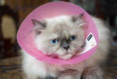"""""""HOOS TEH WIZE GUY HOO PUT DIS LAMP SHADE ON ME?"""" 😾 (stratman² (busy-taking care of Joey)) Tags: canonphotography eos450d ef40mmf28stm primelens iso400 nino persian catmoments kittyschoice kittysuperstar cc100 flickrelite gato katzen neko cute comel creativecommons i"""