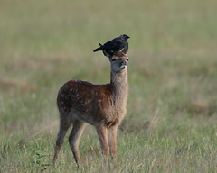 Jackhat (Hammerchewer) Tags: reddeer deer fawn animal jackdaw bird wildlife outdoor