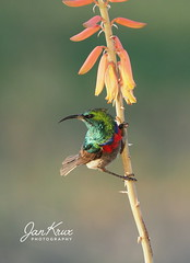 Southern Double Collared Sunbird (jan-krux photography - thx for 3 Mio+ views) Tags: springbok southafrica suedafrika africa afrika voegel bird southerndoublecollaredsunbird avian tier animal male maennchen wildtiere wild free nature natur olympus omd em1mkii travel reisen evening abends blume pflanze aloe bluete