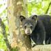 _88A2607 (Confusion_Circle) Tags: black bear