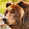Grizzly Gaze (Aspenbreeze) Tags: grizzly grizzlybear bear bearface wildlife wyomingwildlife yellowstonenationalpark yellowstone nature animal wildanimal bevzuerlein aspenbreeze moonandbackphotography ngc