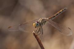 Zwervende Heidelibel - Tenerife (Jan de Neijs Photography) Tags: zwervendeheidelibel heidelibel libel dragonfly dragonflies insect canonef100mmf28lmacroisusmlens macro tenerif tenerife sympetrumfonscolombii