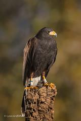 Harris Hawk D50_4511.jpg (Mobile Lynn) Tags: harrishawk birds birdsofprey nature captive bird birdofprey fauna raptor wildlife ringwood england unitedkingdom gb