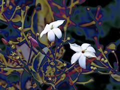 Abstract Jasmine! (maginoz1) Tags: flowers jasmine pink abstract art manipulate curves bulla melbourne victoria australia canon g16 june 2017 winter
