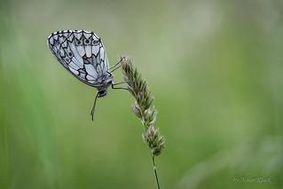 Schachbrettfalter (Melanargia galathea) im Gras