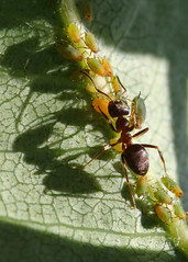 Going against the flow (Treflyn) Tags: ant rushhour chaos pear tree back garden earley reading berkshire uk macro